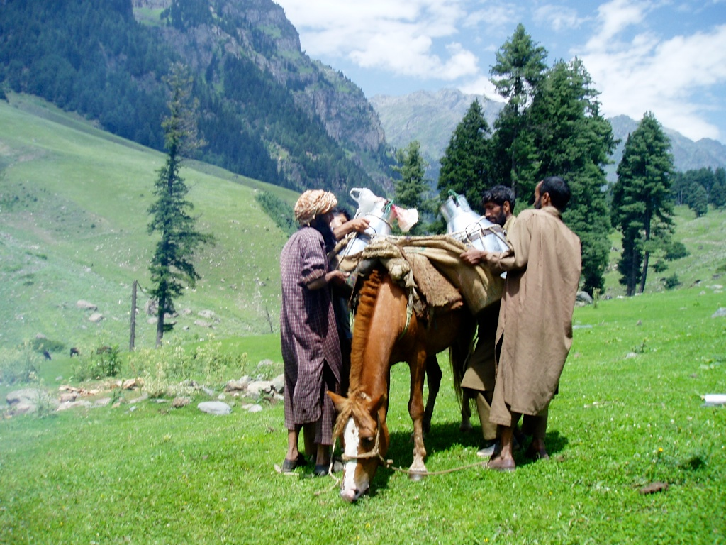 collecting fresh Himalayan milk for cheese making in Kashmir, India
